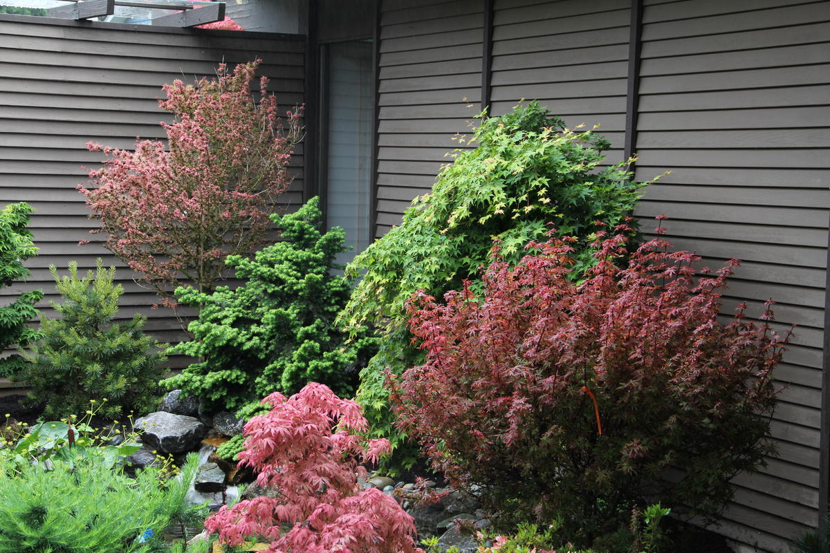 Acer Palmatum Kandy Kitchen Ubc Botanical Garden Forums