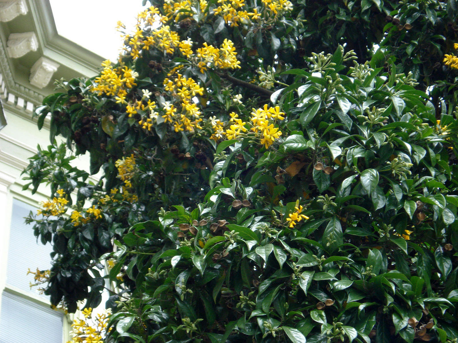 Big tree with yellow flowers san francisco ubc botanical garden 1149g mightylinksfo