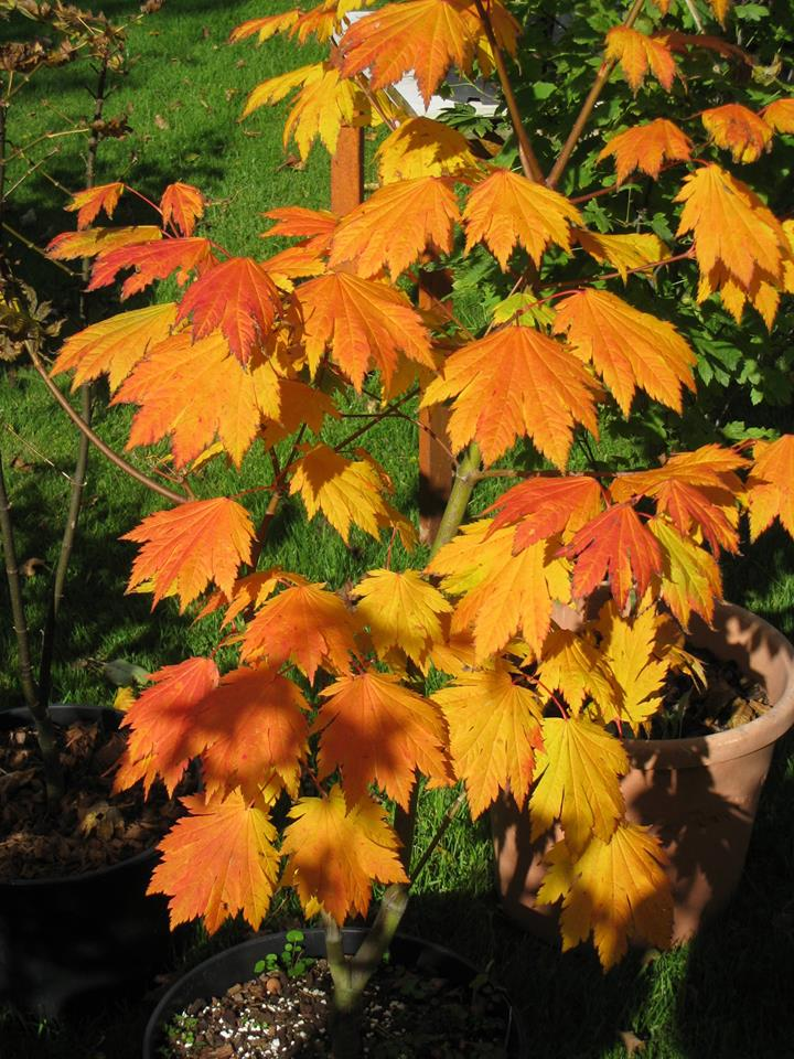 What Maples Are On Your Radar For 2016 Ubc Botanical Garden Forums