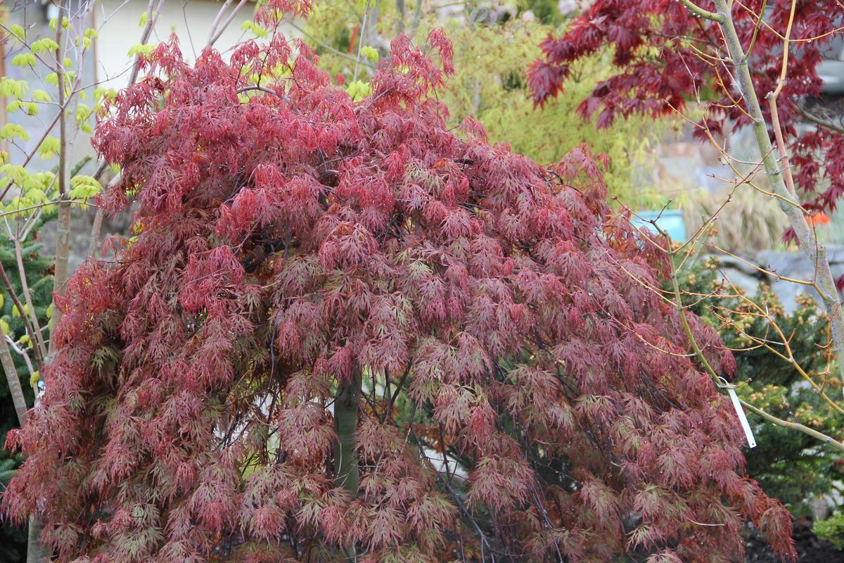 Acer Palmatum Orangeola Ubc Botanical Garden Forums