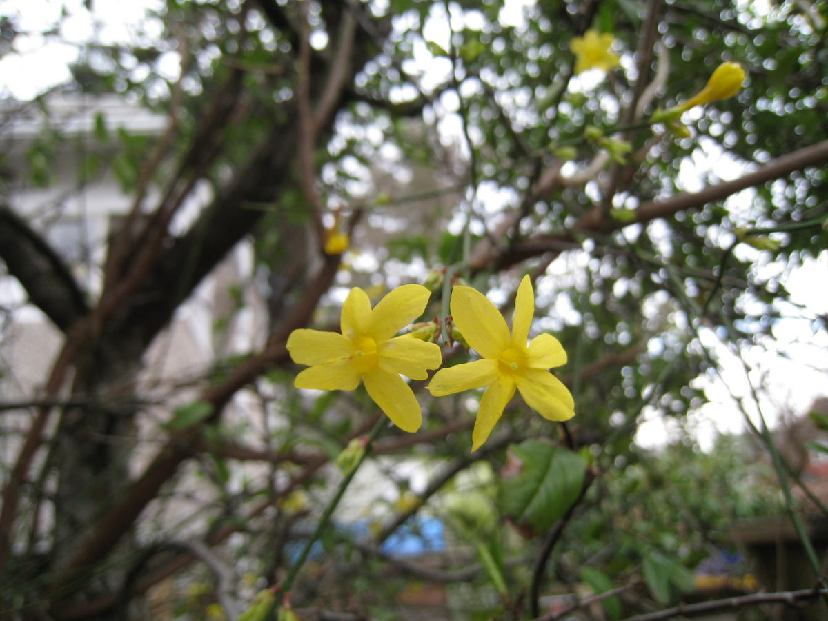 What Shrub Yellow Flower Six Petals Very Early Spring Ubc