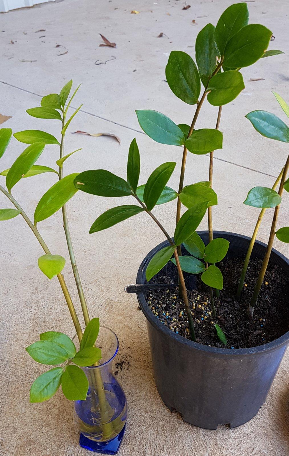 Help With Zz Plant Ubc Botanical Garden Forums