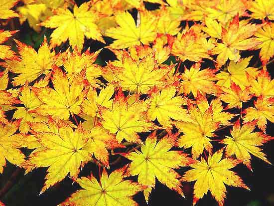 Acer Palmatum Tsukasa Silhouette Ubc Botanical Garden Forums