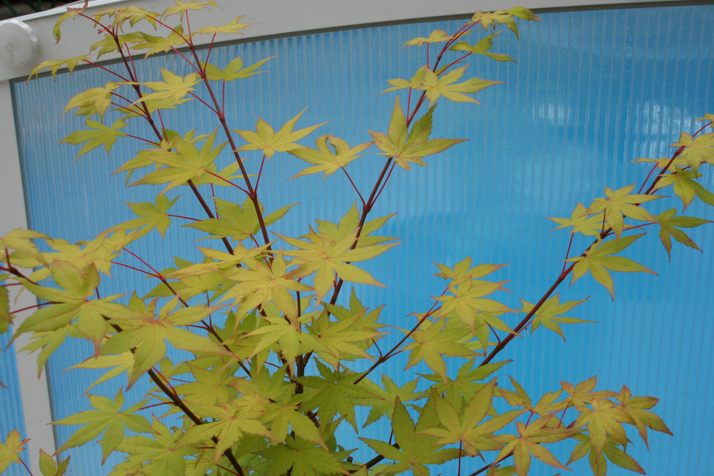 Acer Palmatum Summer Gold Ubc Botanical Garden Forums