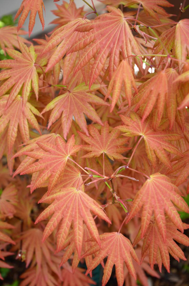 Acer Shirasawanum Autumn Moon Vs Moonrise Ubc Botanical