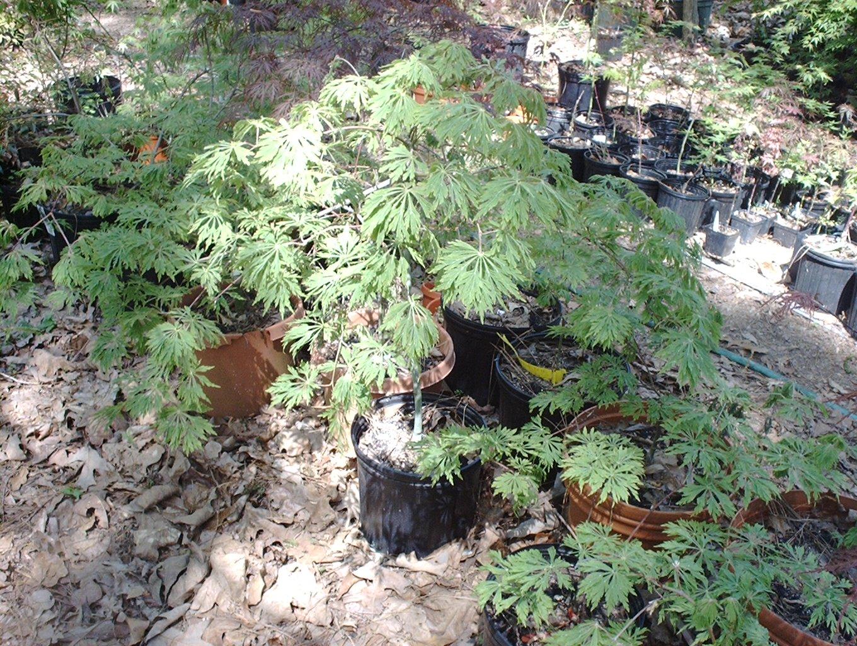 Acer Japonicum Green Cascade Ubc Botanical Garden Forums