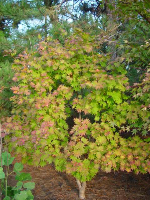 Acer Shirasawanum Aureum Ubc Botanical Garden Forums