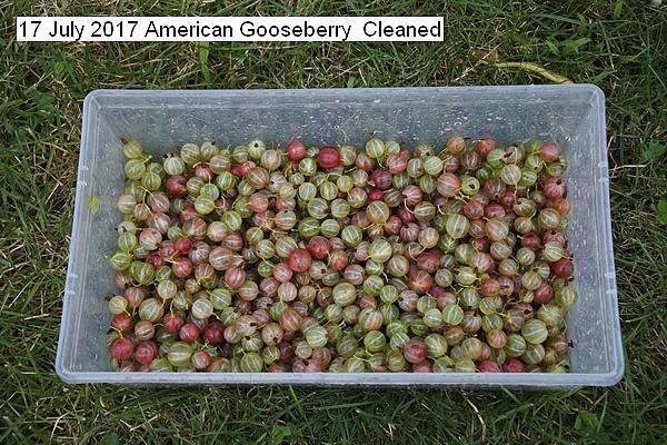 american%20gooseberry%20017_std.jpg