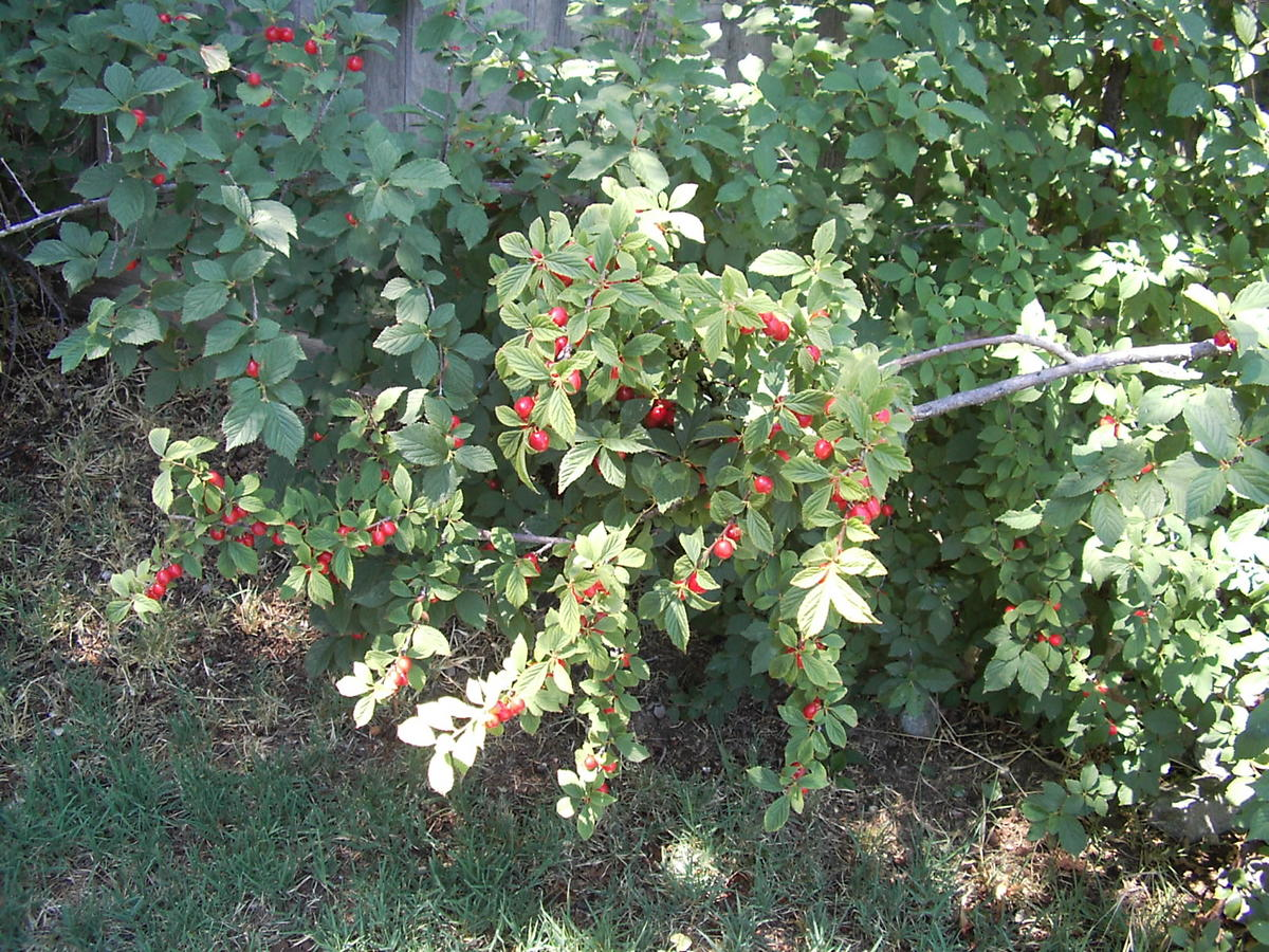 Red Berry Bush Identification | UBC Botanical Garden Forums