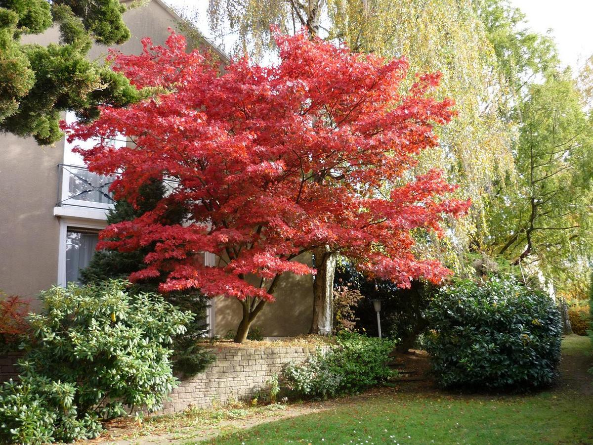 Acer palmatum &#39-Osakazuki&#39- (Japanese Maple)