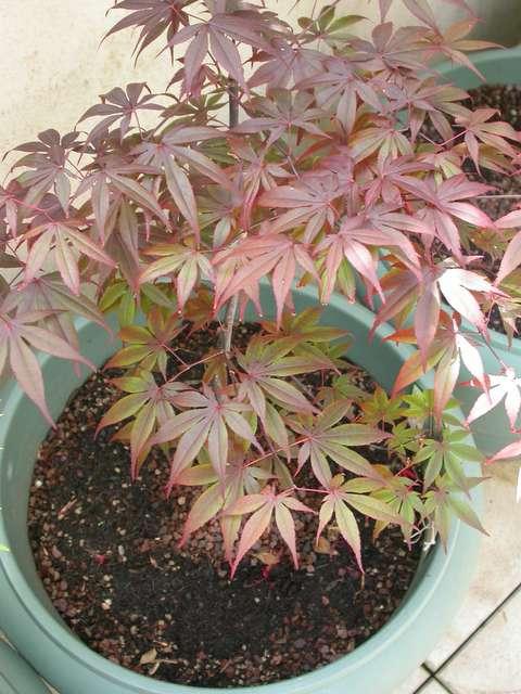 Why Is My Bloodgood Turning Green Ubc Botanical Garden Forums