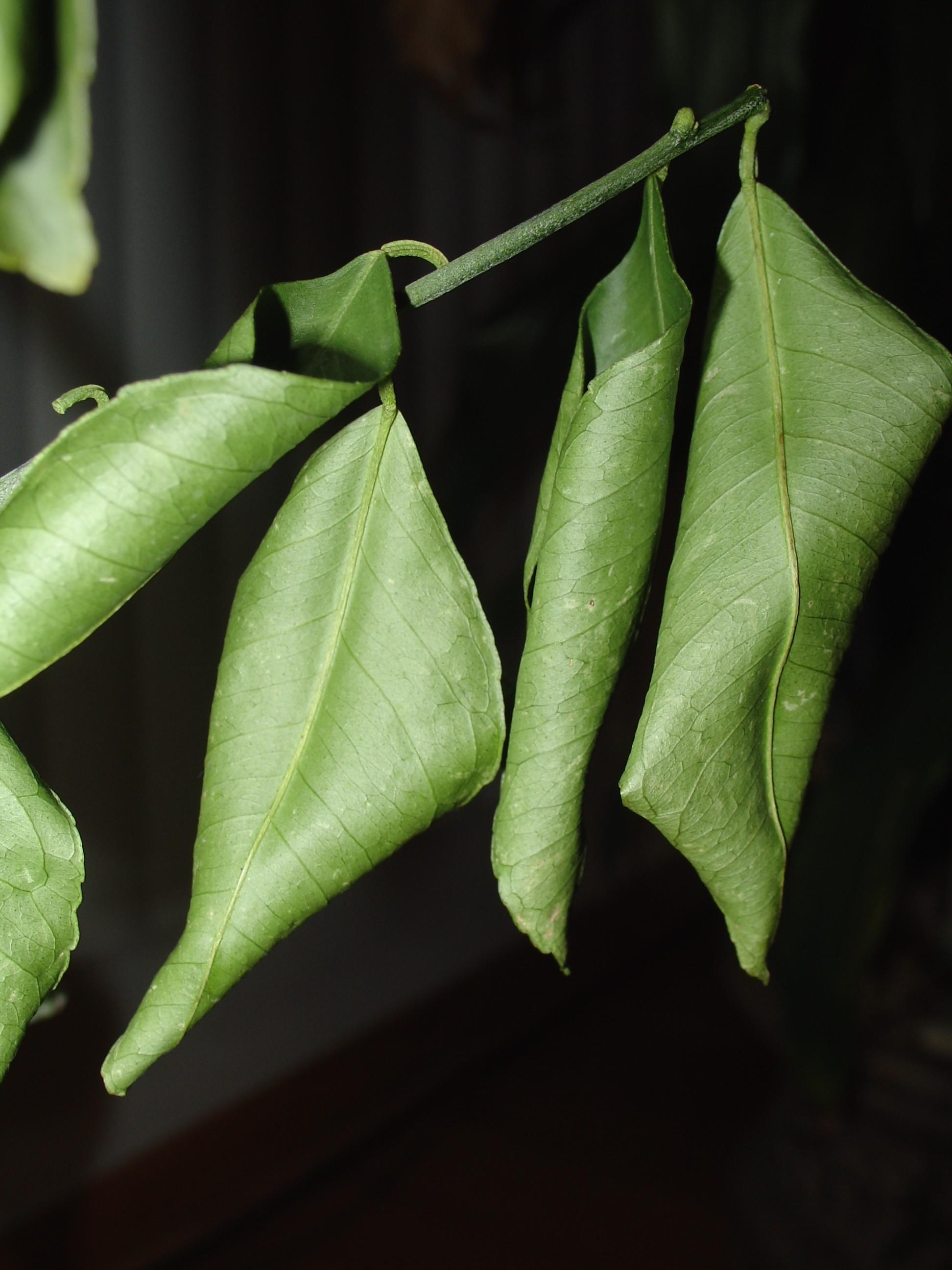 meyer lemon tree losing green leaves ubc botanical garden forums