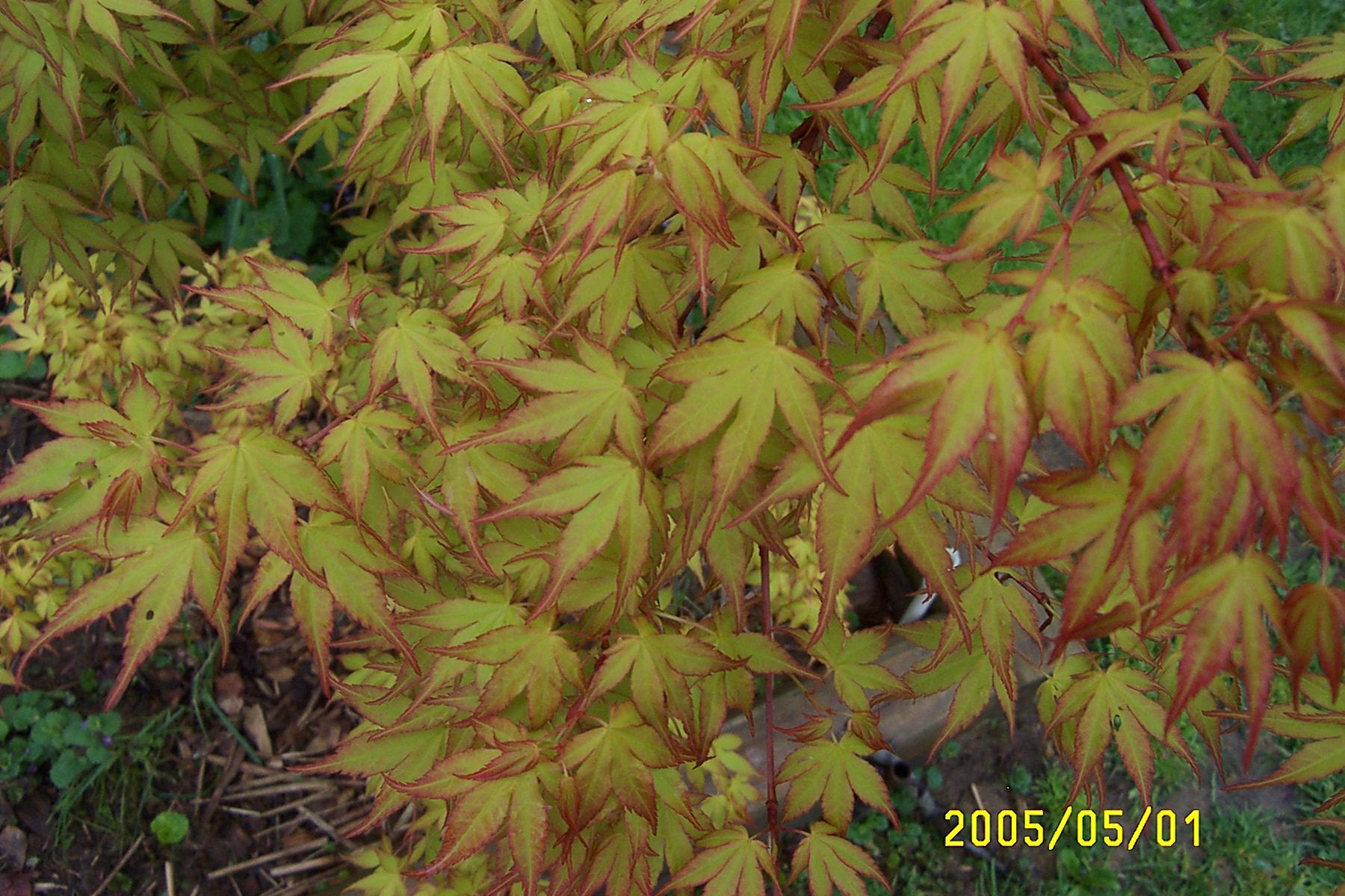 Acer Palmatum Katsura Ubc Botanical Garden Forums