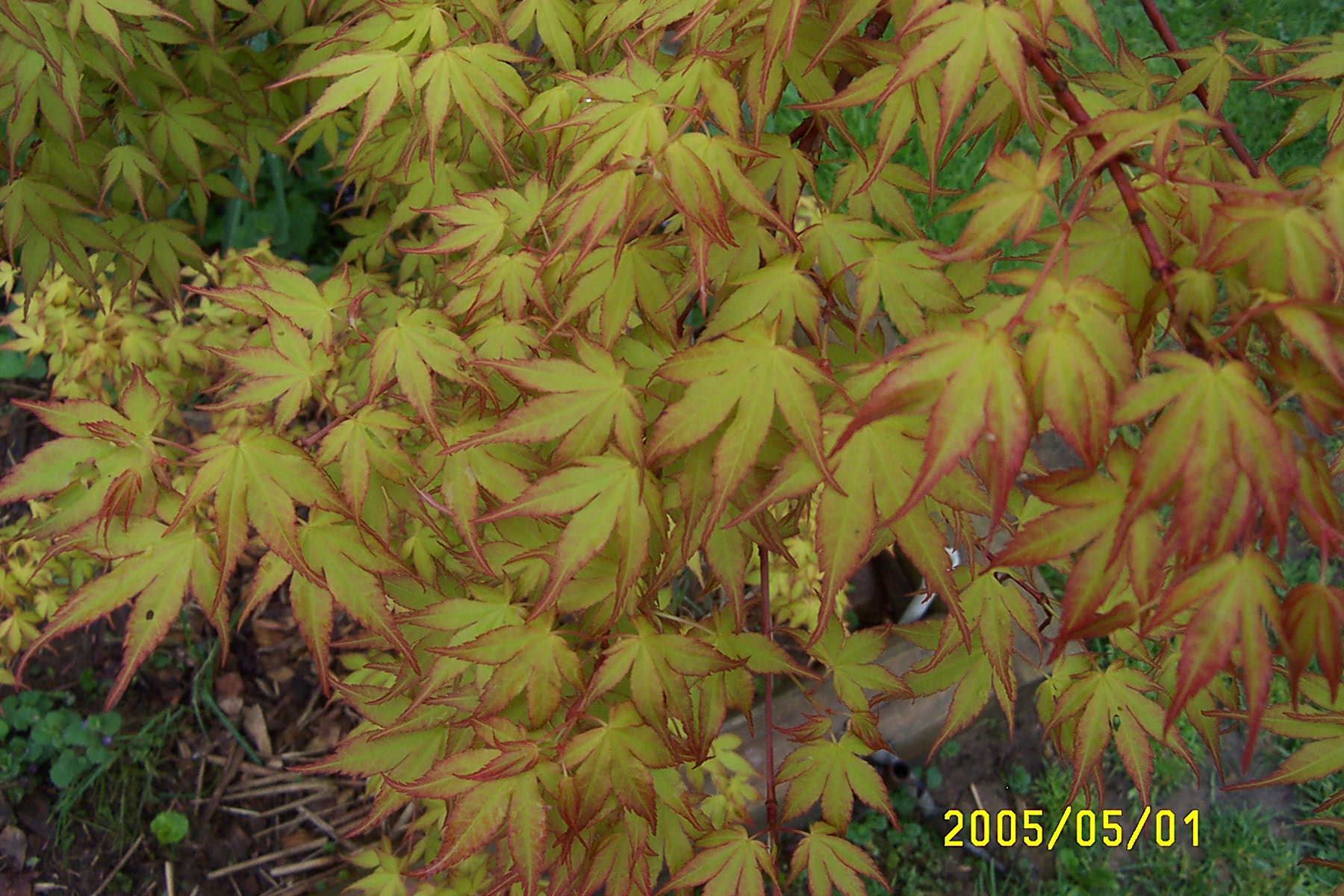 Favorite 5 Japanese Maple Cultivars Ubc Botanical Garden Forums