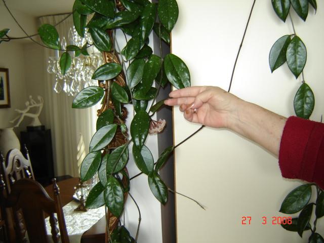 excellent long vine house plant. DSC00376 JPG Identification  of vine houseplant UBC Botanical