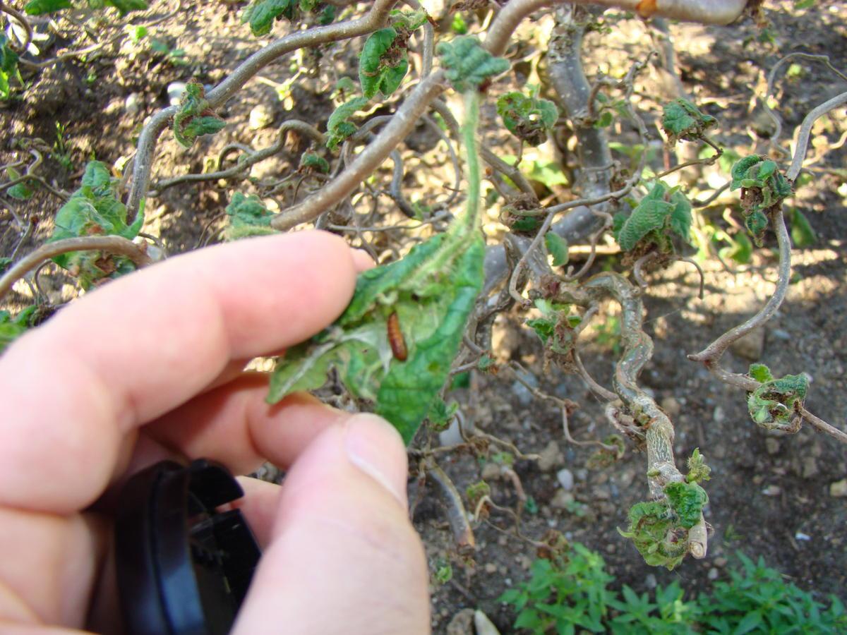 Harry lauder walking stick trees - Dsc01570 Jpg