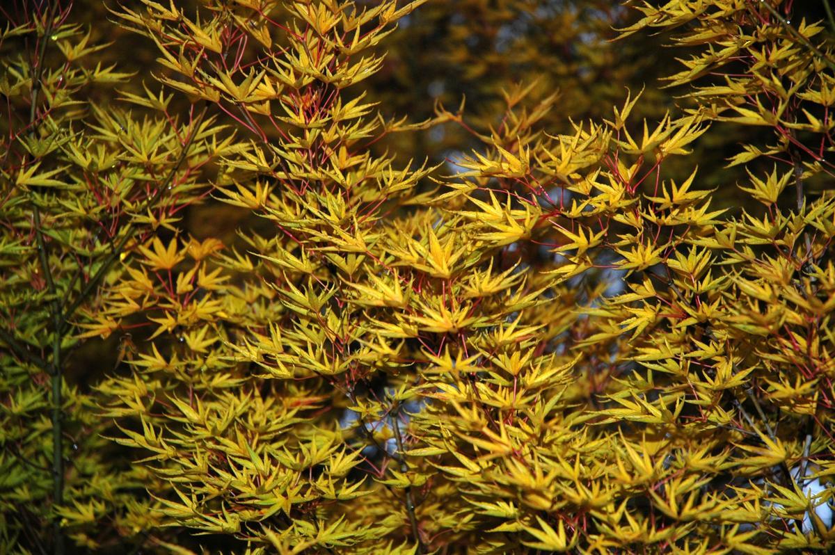 Acer Palmatum Okushimo Ubc Botanical Garden Forums