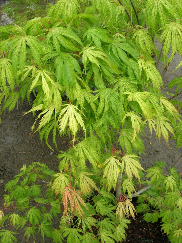 Acer Palmatum Tiger Rose Ubc Botanical Garden Forums