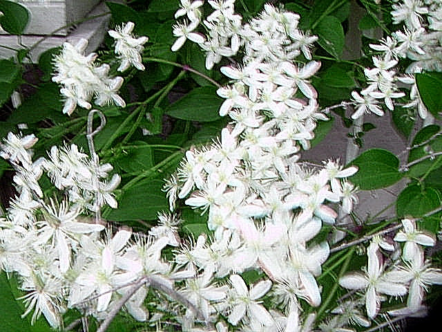 White flowering vines image collections flower decoration ideas vine with white flowers identification ubc botanical garden dscn0511g mightylinksfo image collections mightylinksfo Images
