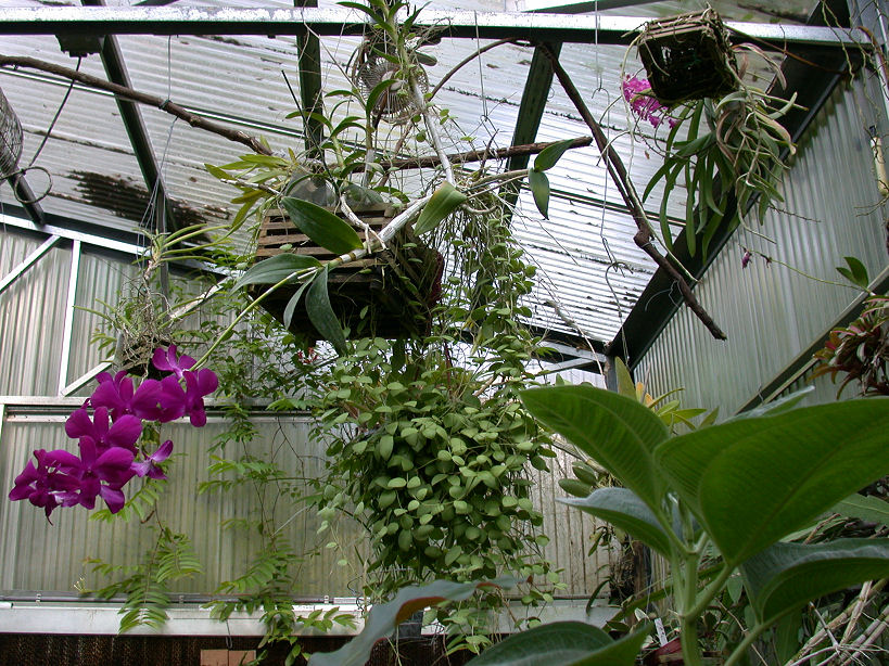 Need Help With My Hoya Plant Ubc Botanical Garden Forums