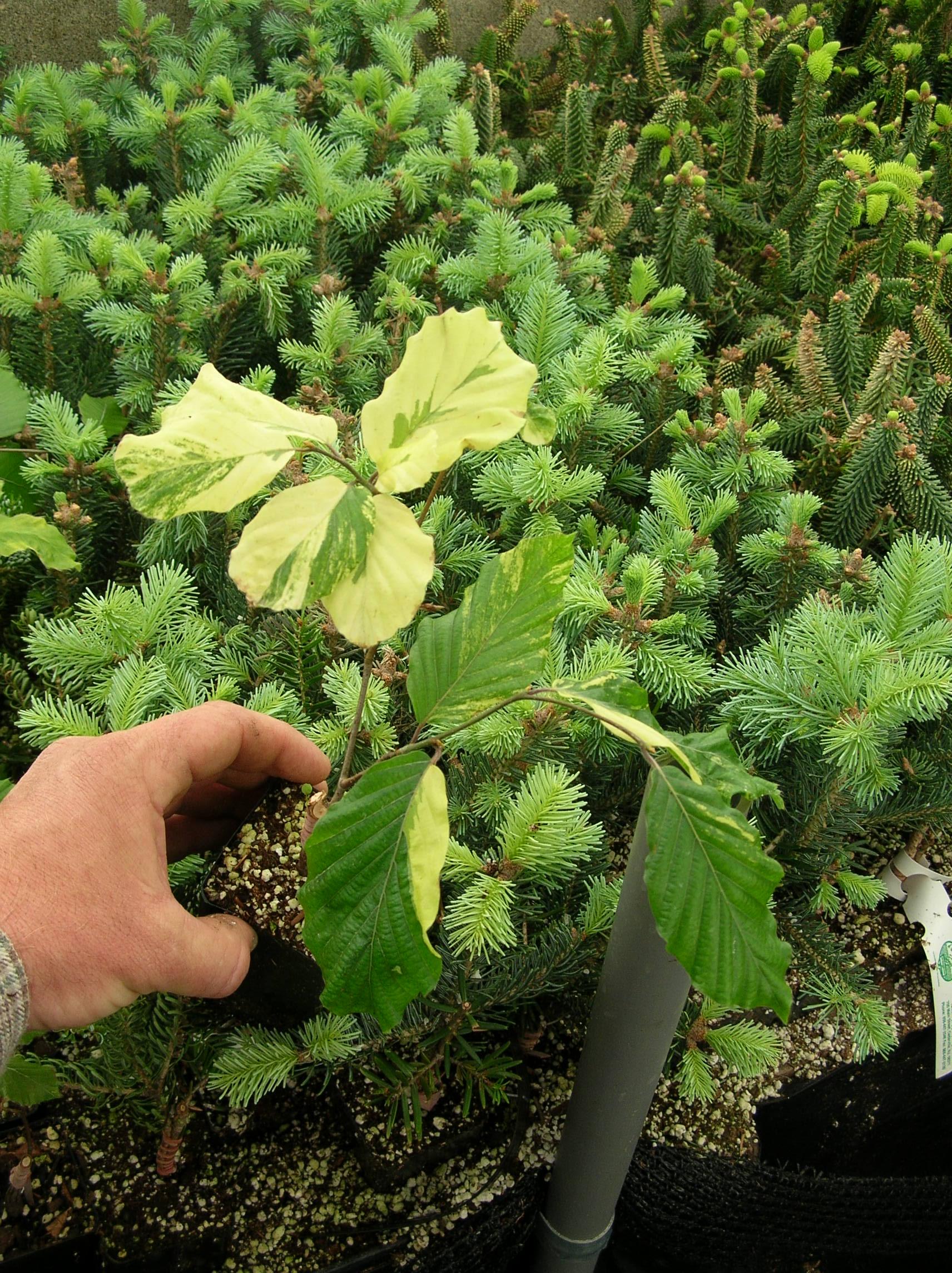 Beeches: - Fagus sylvatica \'Nicole\' | UBC Botanical Garden Forums