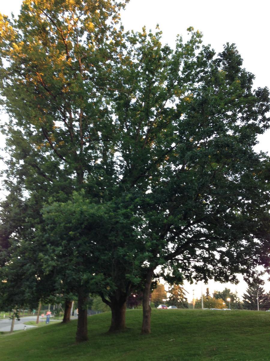 Is this a garry oak ubc botanical garden forums