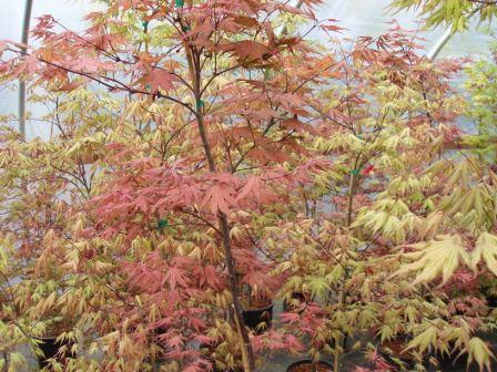Acer Palmatum Ghost Series Ubc Botanical Garden Forums