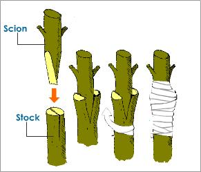 grafting-process.jpg