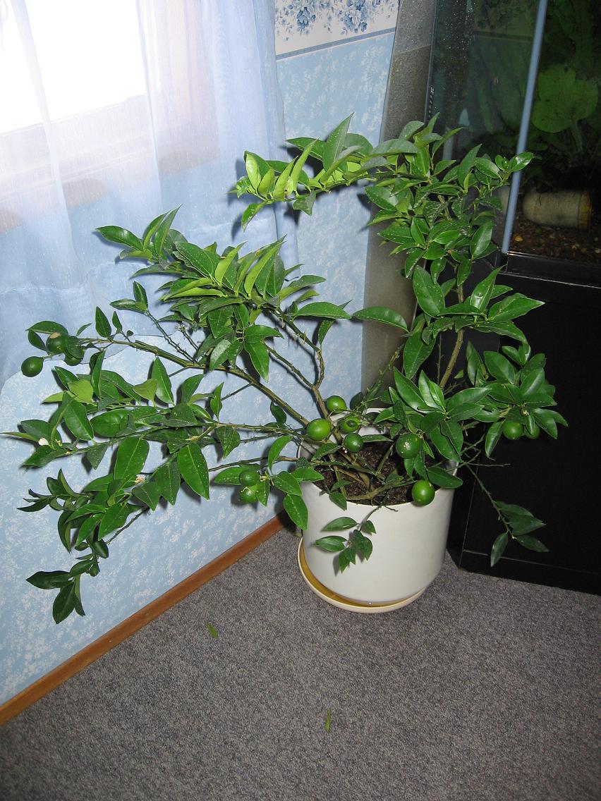img0104jpg - Kaffir Lime Tree