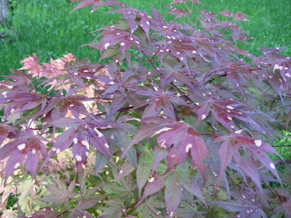 Japanese maple disease ubc botanical garden forums img0469g publicscrutiny Image collections