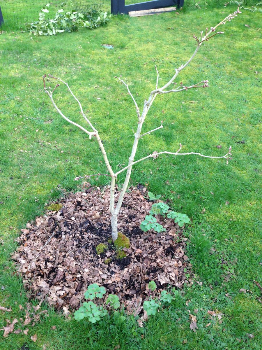 Pruning Acer Shirasawanum Please Help Ubc Botanical Garden