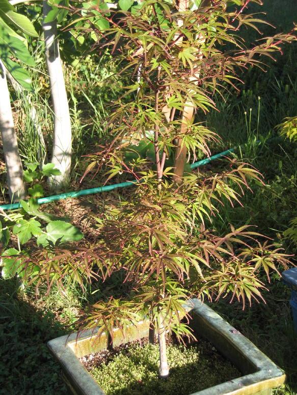 Acer Palmatum Atrolineare Ubc Botanical Garden Forums