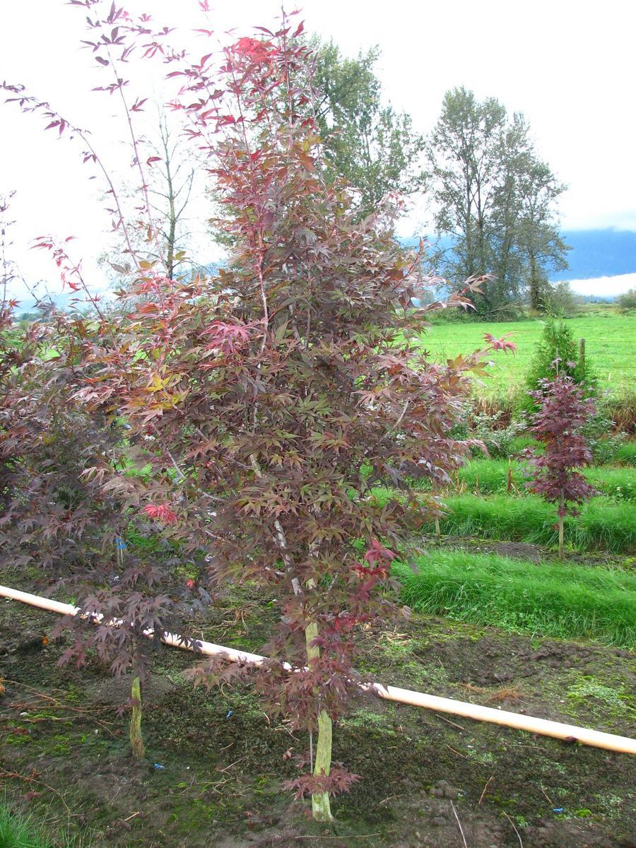 Acer Palmatum Shojo Ubc Botanical Garden Forums