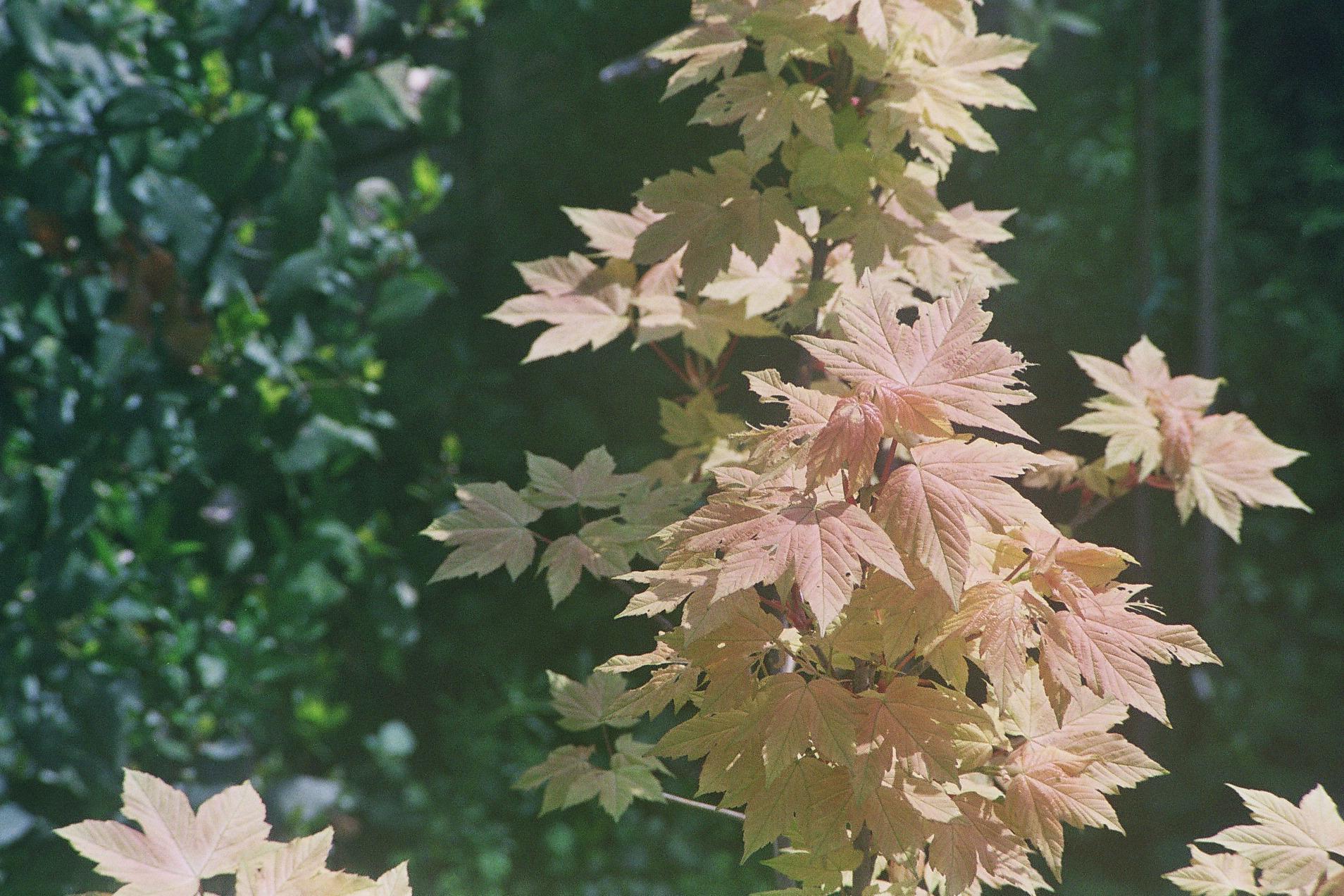 Acer Pseudoplatanus Brilliantissimum Ubc Botanical Garden Forums