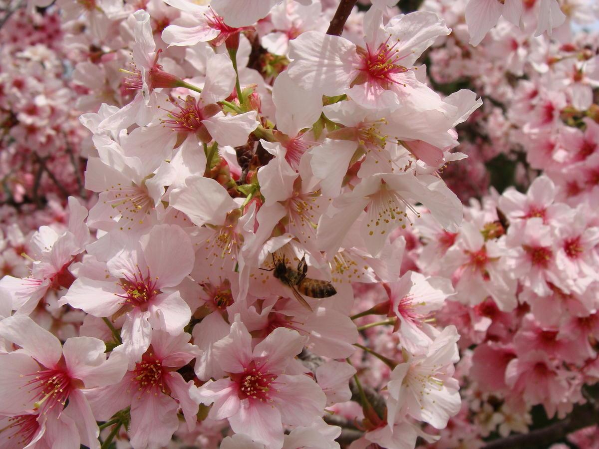 Identification Prunus Pink Cloud Single Pink Flowers Mid