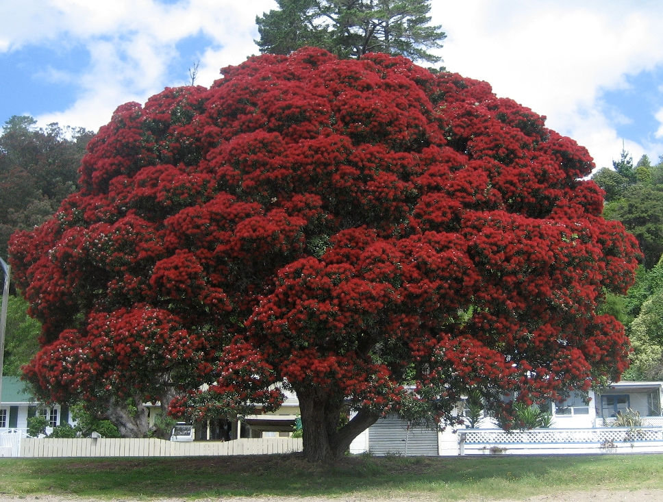 New Zealand Christmas Tree.New Zealand Christmas Tree Ubc Botanical Garden Forums