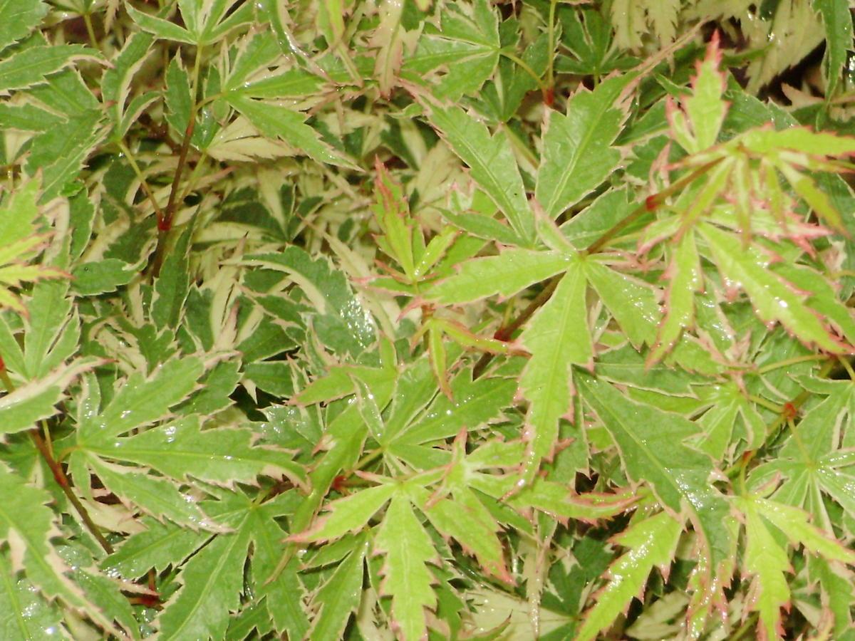 Rosea Magomata Ubc Botanical Garden Forums