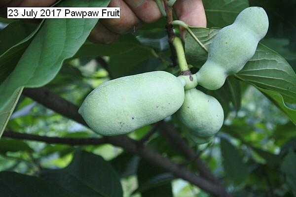 pawpaw%20fruit%20002_std.jpg