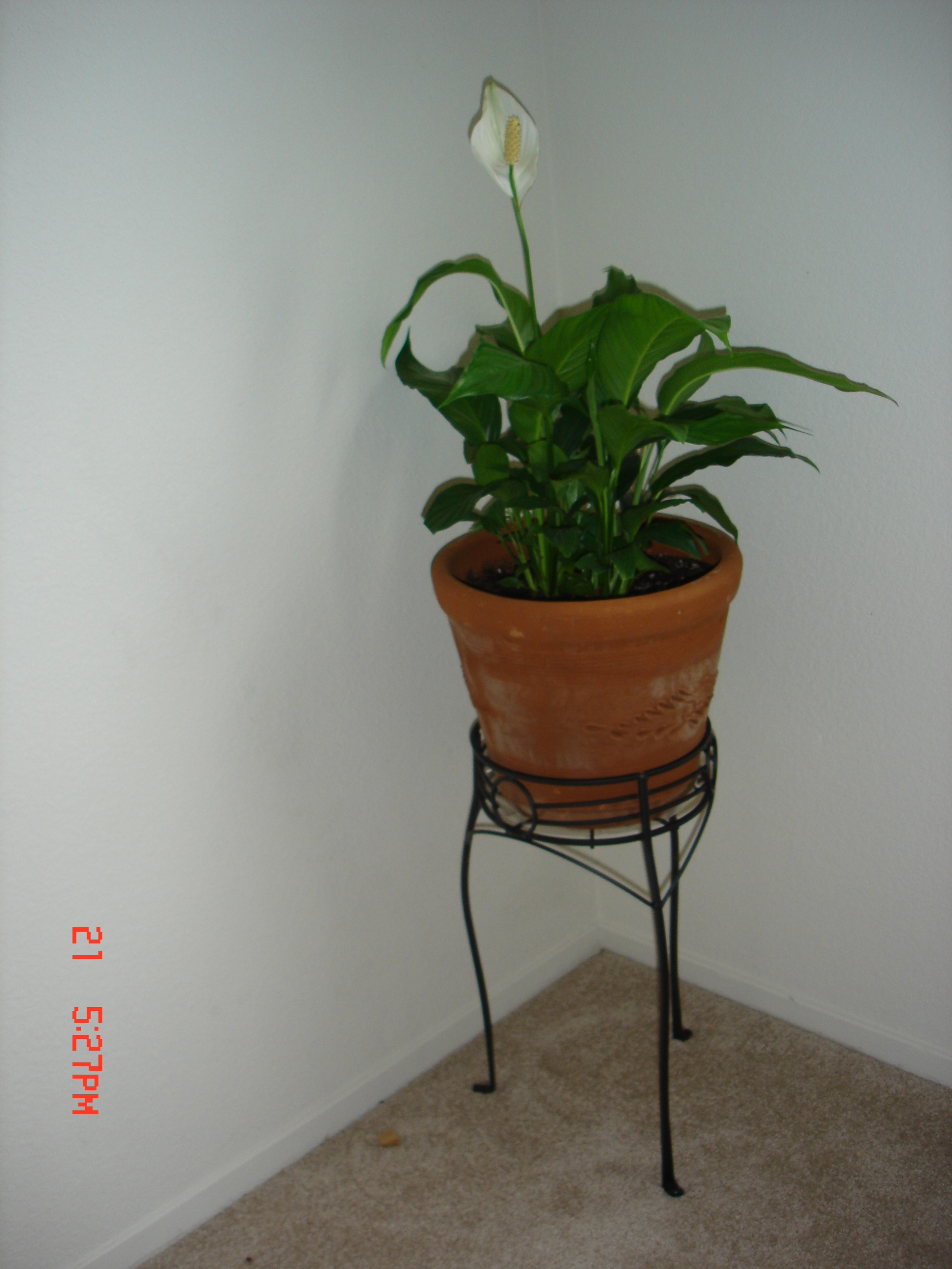 Peace lily repotting ubc botanical garden forums peace lilyg reviewsmspy