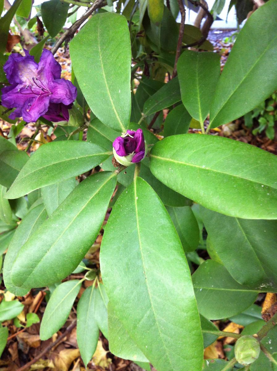 Tree with big purple flowers and whorled leaves ubc botanical photo 4g mightylinksfo