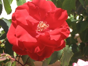 Roses in Arizona and Thrips | UBC Botanical Garden Forums