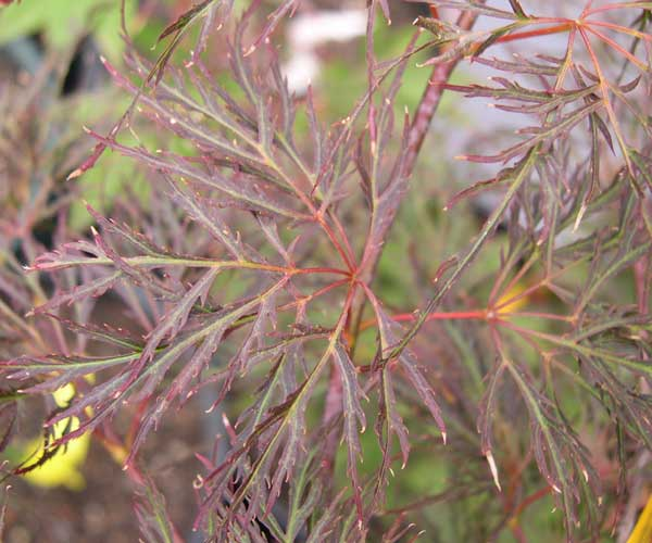 Acer Palmatum Red Feather Ubc Botanical Garden Forums