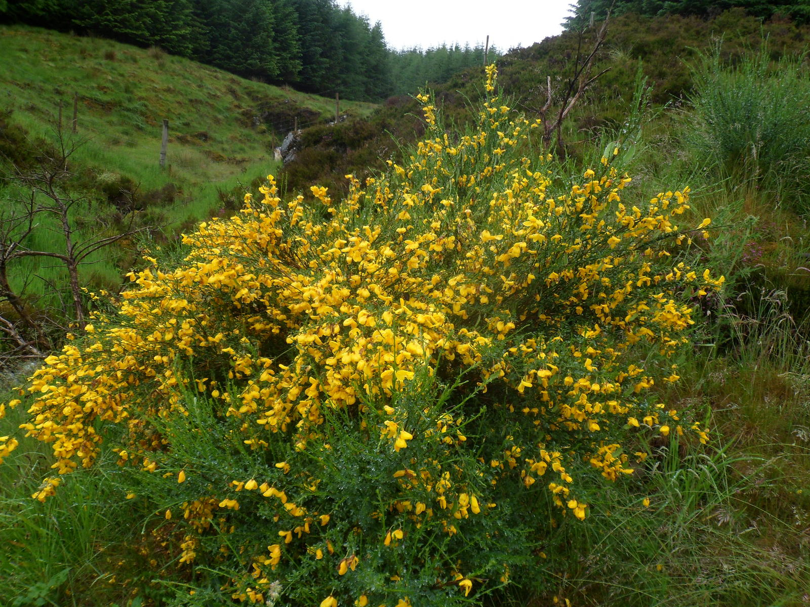 Bush With Yellow Flowers Found In Scottish Highlands Ubc