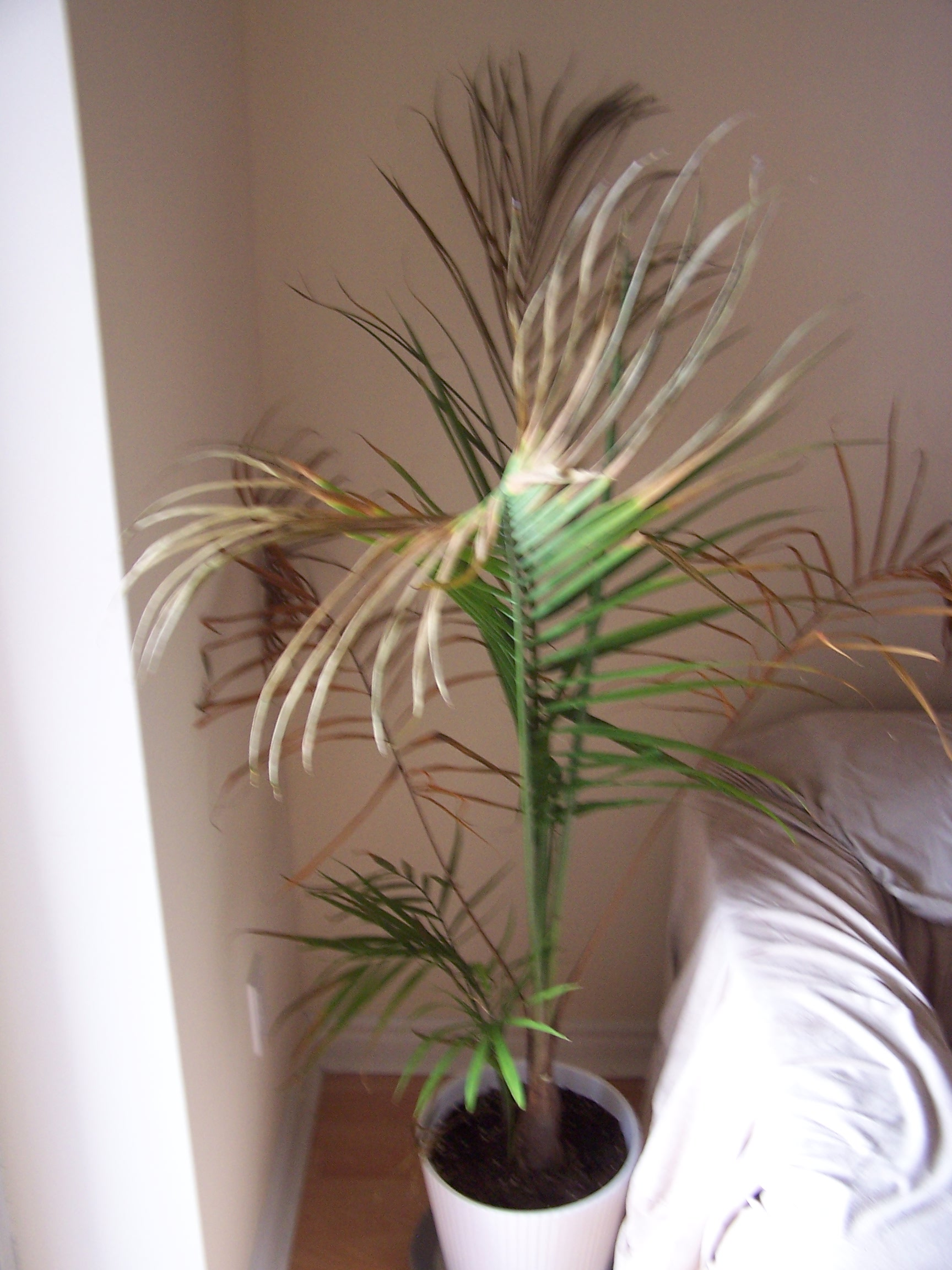 Indoor Palm Tree Dying | Beatiful Tree
