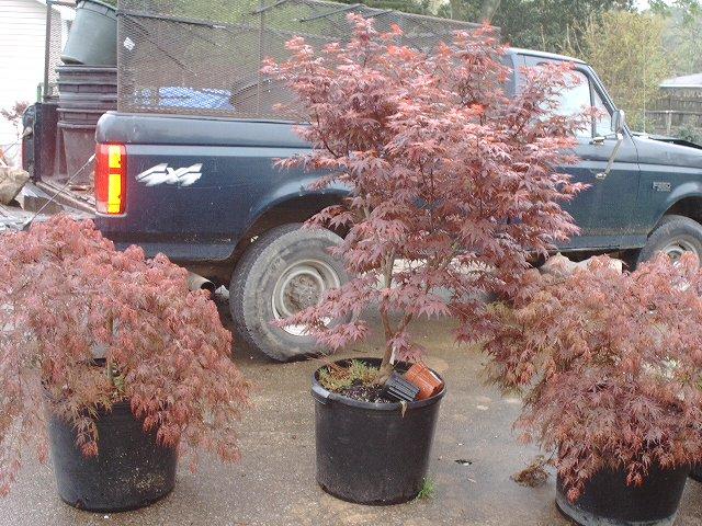 Acer Palmatum Shojo Nomura Ubc Botanical Garden Forums