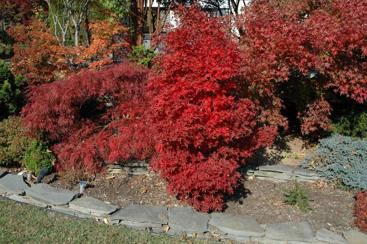 Acer Palmatum Skeeters Broom Ubc Botanical Garden Forums