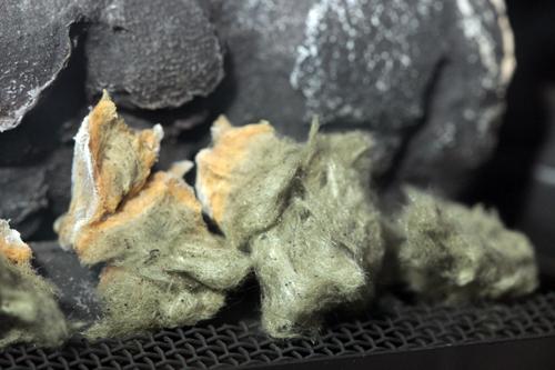fireplace fungus | UBC Botanical Garden Forums