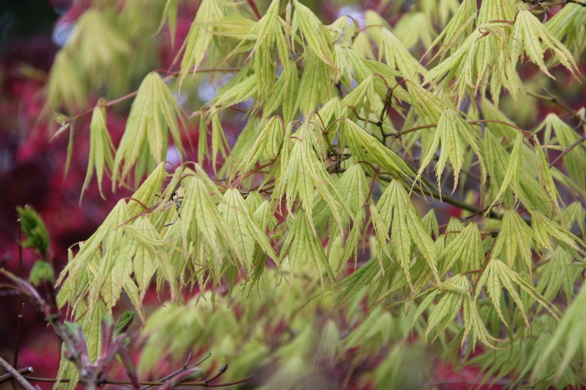 Acer Palmatum Tiger Rose Ubc Botanical Garden Forums
