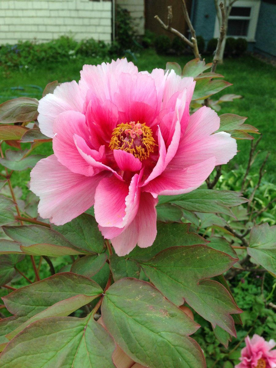 peony tree strange growth from bottom | UBC Botanical Garden Forums