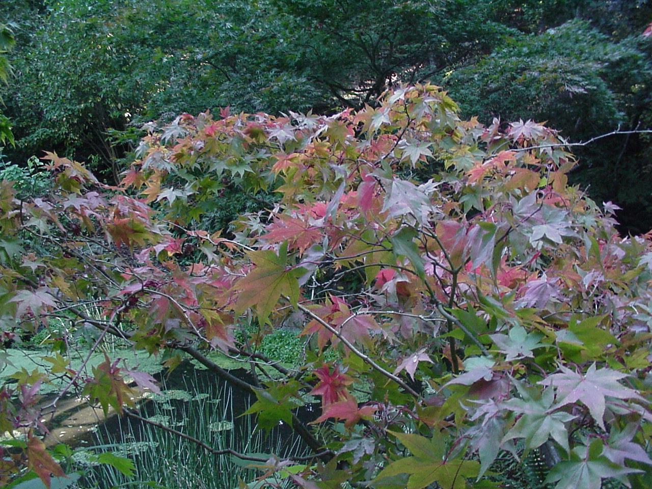 Acer Palmatum Ichigyoji Ubc Botanical Garden Forums